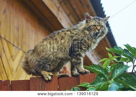angry siberian cat on fence top scream