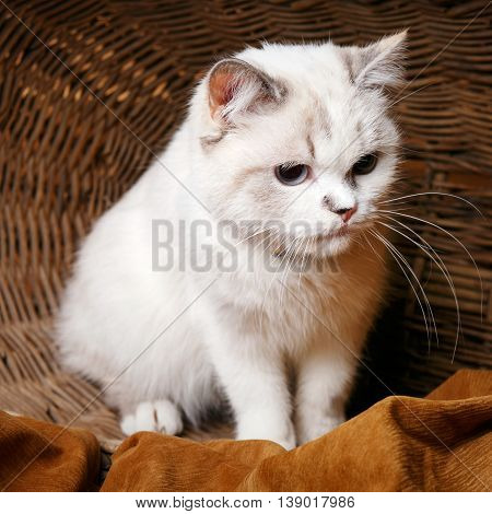 Cute White Cat sitaing  in the wicker basket basket