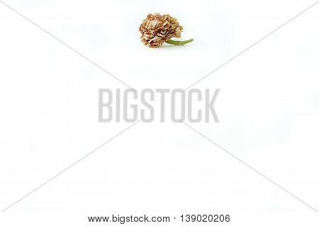 Background dry jasmine, flower jasmine on isolate, jasmine In memory