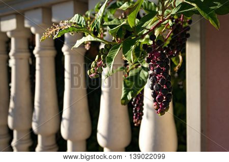 Abstract summer background with pokeberries pokeweed berries. Phytolacca americana berries on vine with classical white columns on the background