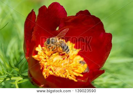 Beautiful backgroung with a peonny flower being pollinated by a bee in summer season