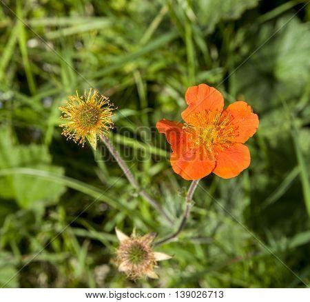 Blooming bright Geum in meadow of Stara planina Bulgaria Europe