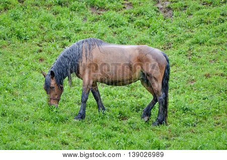 Horse in pasturing and eating grass in the rain. Wet animal without a shelter in the nature.