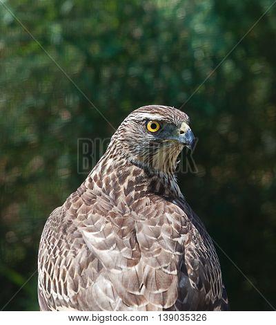 photo portrait of an alert beautiful Goshawk
