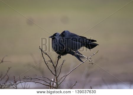 This picture shows two Jackdaws (Corvus monedula) perched side by side looking straight ahead. The picture shows the characteristic blue eyes of these birds, and was taken in Gloucestershire, England, in late February.