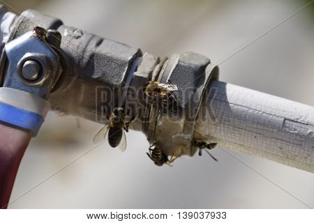 Polistes Wasps And Bees Drink Water