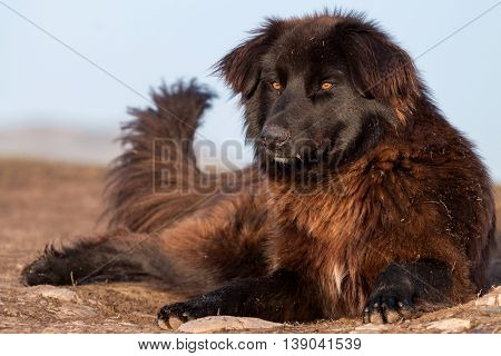 Romanian Carpathian Shepherd Dog sitting on the ground
