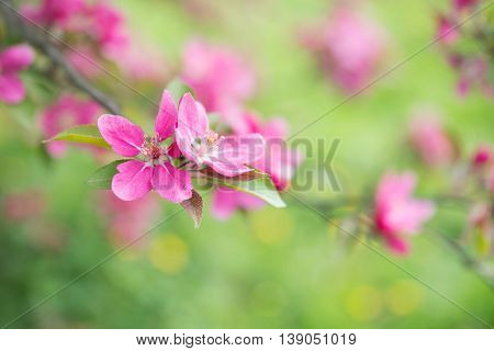 Spring or summer nature background with cherry blossom tree flowers