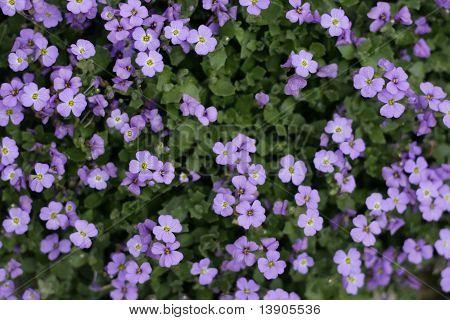Violet Flower Background