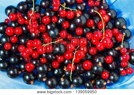 Summer berries black currant, red currant on blue dish