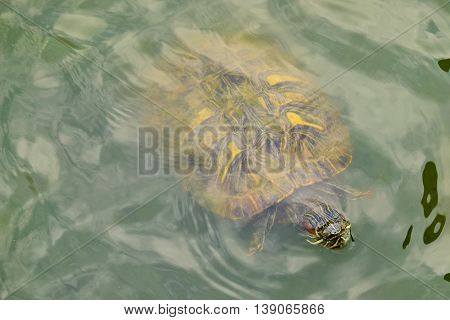 A turtle in water view from above