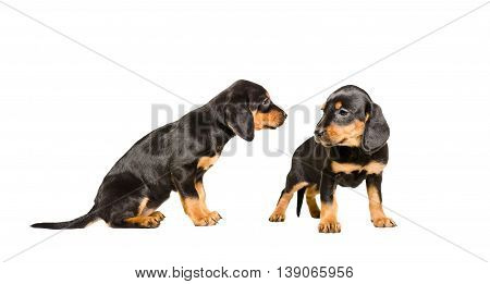 Two puppy breed Slovakian Hund standing together isolated on white background