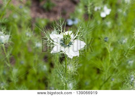 (Nigella damascena) is an annual plant of the family Ranunculaceae (Ranunculaceae)