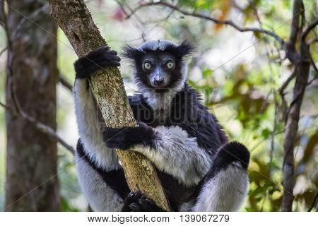 Endemic Indri lemur in natural habitat. Madagascar