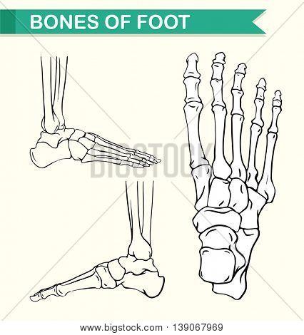 Diagram showing bones of foot illustration