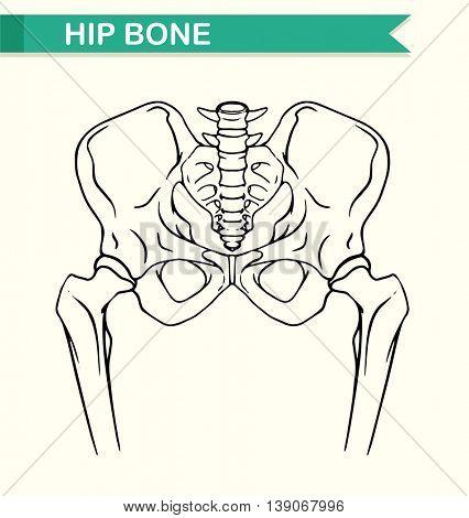 Human hip bone on paper illustration