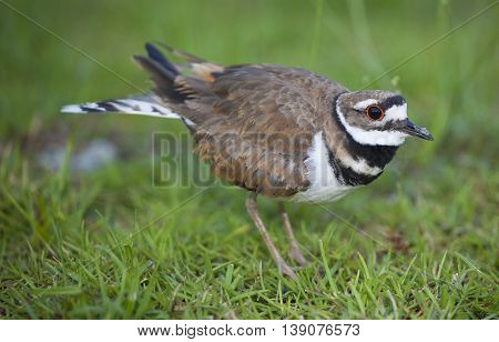 Killdeer that is keeping itself between the camera and nest in the background