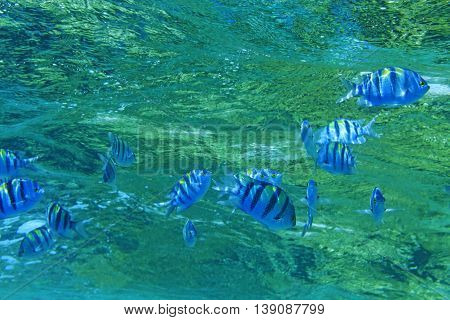 flock Sargeant major under water, pack of colored fishes, Egypt, Africa, warm tropical sea