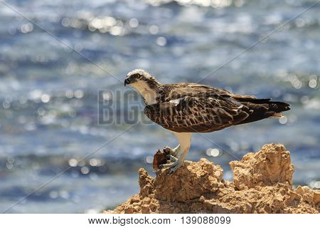 Osprey on a rock ledge eating fish, birds, prey, summer