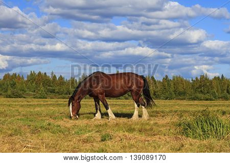 shire horse grazing among the gloomy landscape, finland.summer