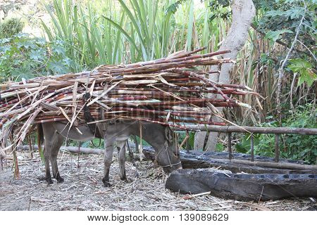 Burro stops to eat with heavy load of sugarcane on his back in rural Peru