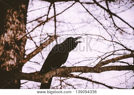 Big Black Carrion Crow Sit On The Pine Branch