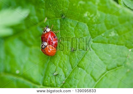 Macro shot of 2 lady bugs mating surrounded by crawling aphids. Selective focus and deliberate shallow depth of field on background for effect.