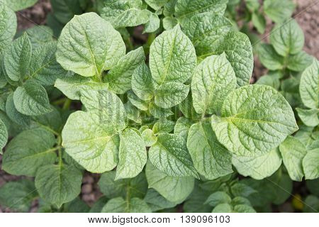 Potato (solanum Tuberosum). The Potato Is One Of The Most Important Foods In The World, But In Addit