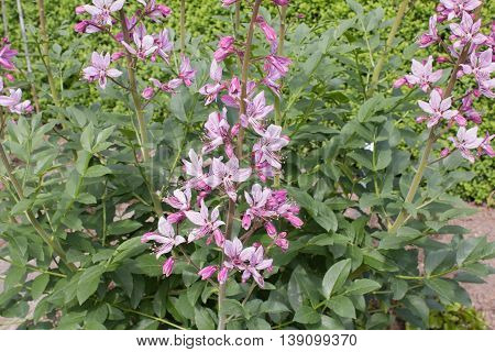 Diptam (Dictamnus albus). Flower in a garden in pink.