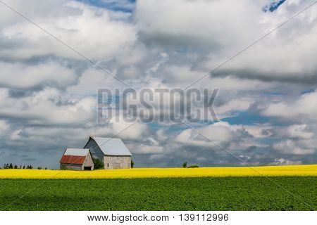 Canola and potato crops in farmland on rural Prince Edward Island, Canada.