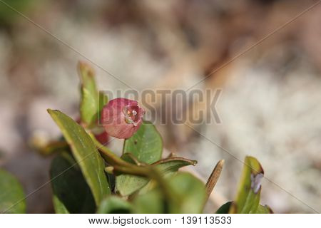 Blossom Of The European Blueberry (vaccinium Myrtillus)