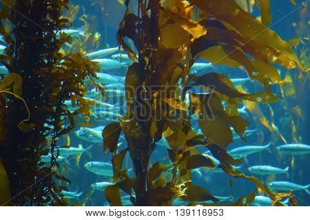 School of fish beside a Kelp Plant Forest in the cold Pacific Ocean waters at the California Coast