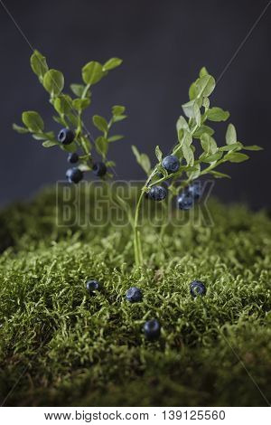 Blueberries on bushes of berries, surrounded by green moss