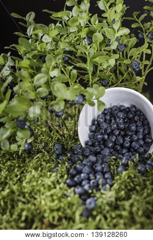 Blueberries scattered on the green moss surrounded by berry bushes