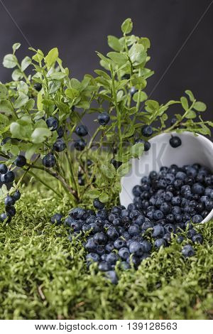 Blueberries scattered on the green moss, surrounded by berry bushes