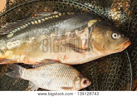 Two fresh raw river fishes, carp and crucian close-up on fishing net, just taken from the water