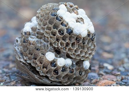 Wasp Nest on the ground with larvae and eggs in individual cell of the hive side view closeup macro
