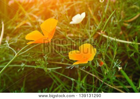 California golden poppy flowers - in Latin Eschscholzia californica - in the meadow under evening warm light. Summer floral background. Selective focus at the flower