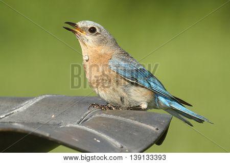 Female Eastern Bluebird (Sialia sialis) taking a drink from a bird bath