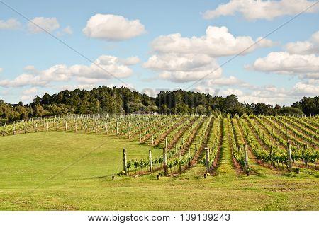 Vineyard in New Zealand. Winemaking in NZ