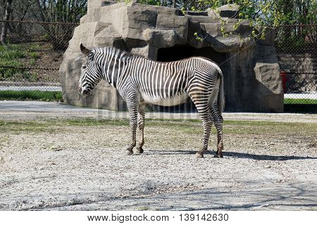A Grevy's Zebra stallion (Equus grevyi) stands in profile.
