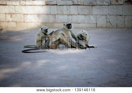 photo female green monkey sitting on the ground and cleaning pack leader