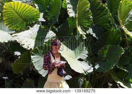 Bush in the garden Alocasia makronisos, Tenerife. Tropical plant, girl write