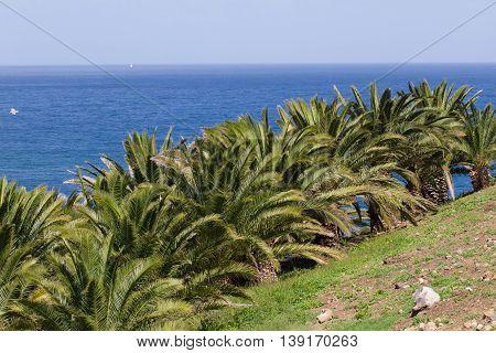 Landscape Canary palm tree, Phoenix canariensis. Stock date palm photo