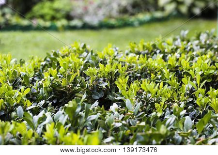 Boxwood Bush After Cutting, Young Green Leaves