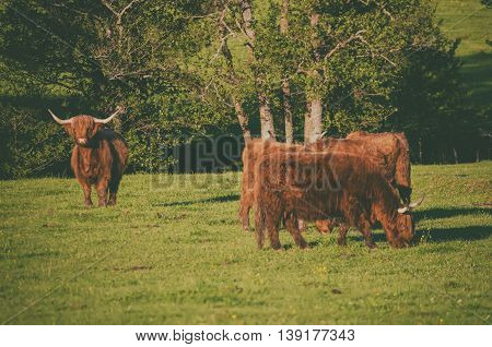 Scotland highland hairy red cows grazing at the green summer meadow, agricultural livestock organic food concept