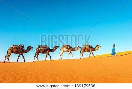Camel caravan going through the sand dunes in the Sahara Desert Morocco.
