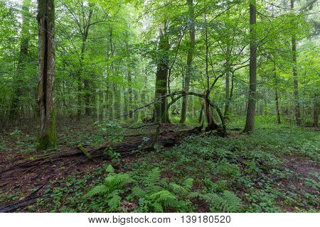 Natural deciduous stand of Bialowieza Forest with some old trees and ferns, Bialowieza Forest, Poland, Europe
