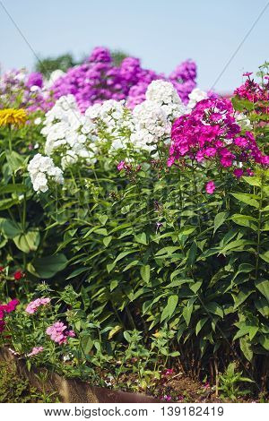 pink and white phlox flowers in garden with colour saturation