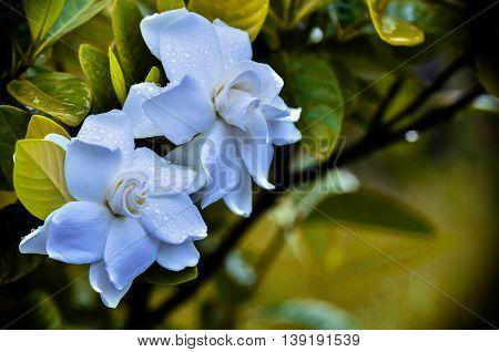 Cape Jasmine blooming in garden in vintage light